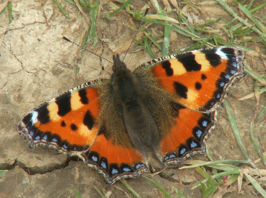Small Tortoiseshell from 2007