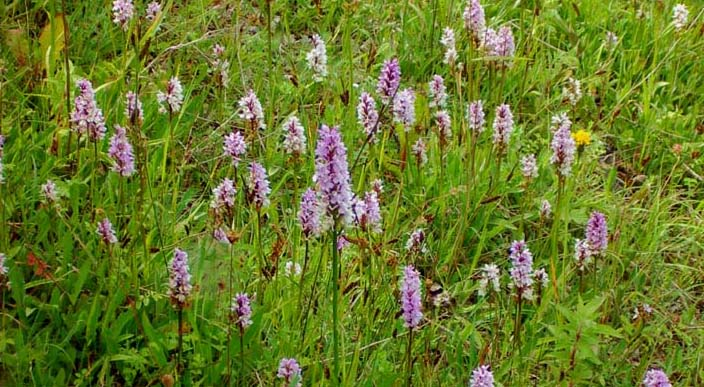 Spotted orchids (Photograph by Andy Horton)