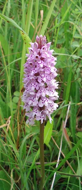 Spotted Orchid (Photograph by Andy Horton)