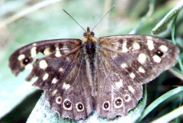Speckled Wood (Photograph by Andy Horton)