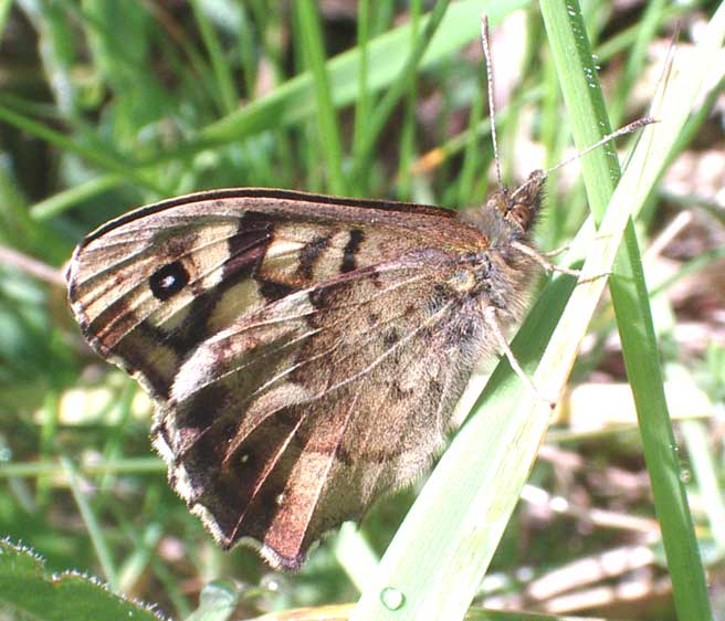 Speckled Wood from the Dovecote Bank