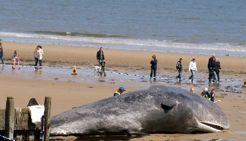 Sperm Whale at Redcar (Photograph by Chris Small)