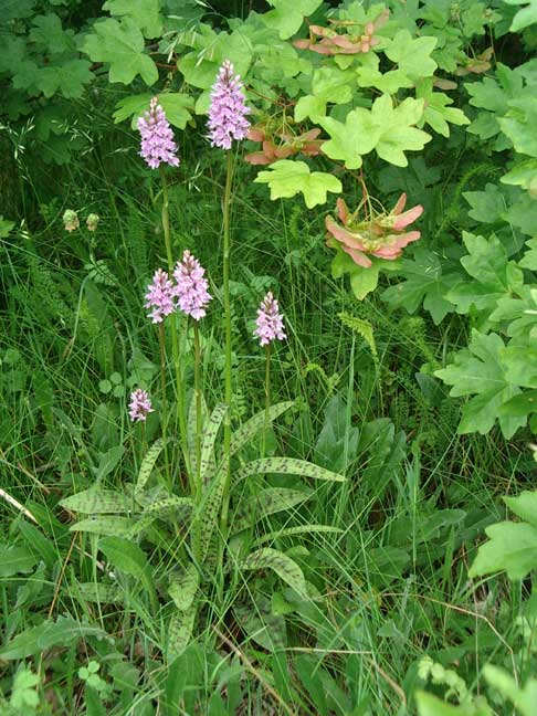 Spotted Orchids on Slonk Hill, southern bank