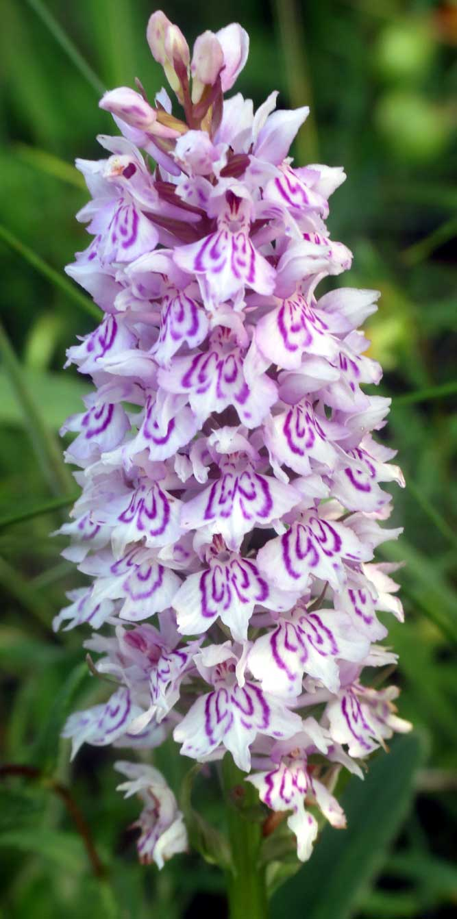 white spotted orchid flower - photo #34