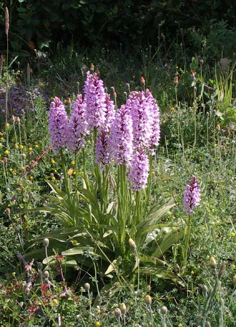 Spotted Orchids on Mill Hill (A27 bank north)