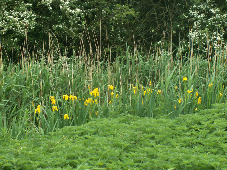 Yellow Iris and Stinging Nettles on Spring Dyke