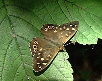 speckled wood butterfly at