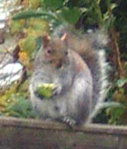 Grey Squirrel eating an apple