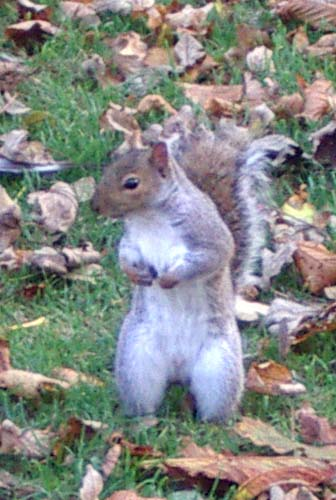 Grey Squirrel in St. Mary de Haura churchyard, New Shoreham