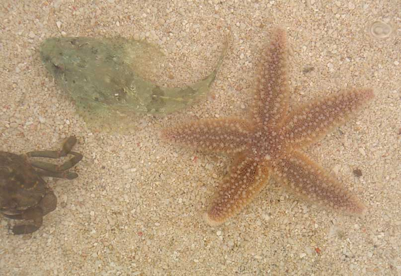 Common Starfish with Bullhead