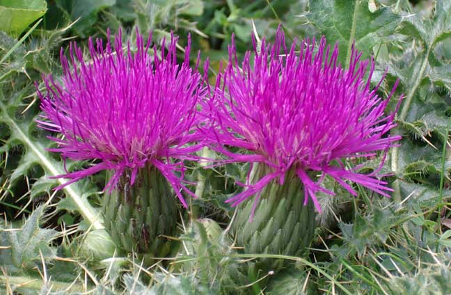 Two Stemless Thistle close together
