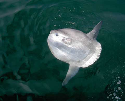 Sunfish (Photograph by Lee Ford)