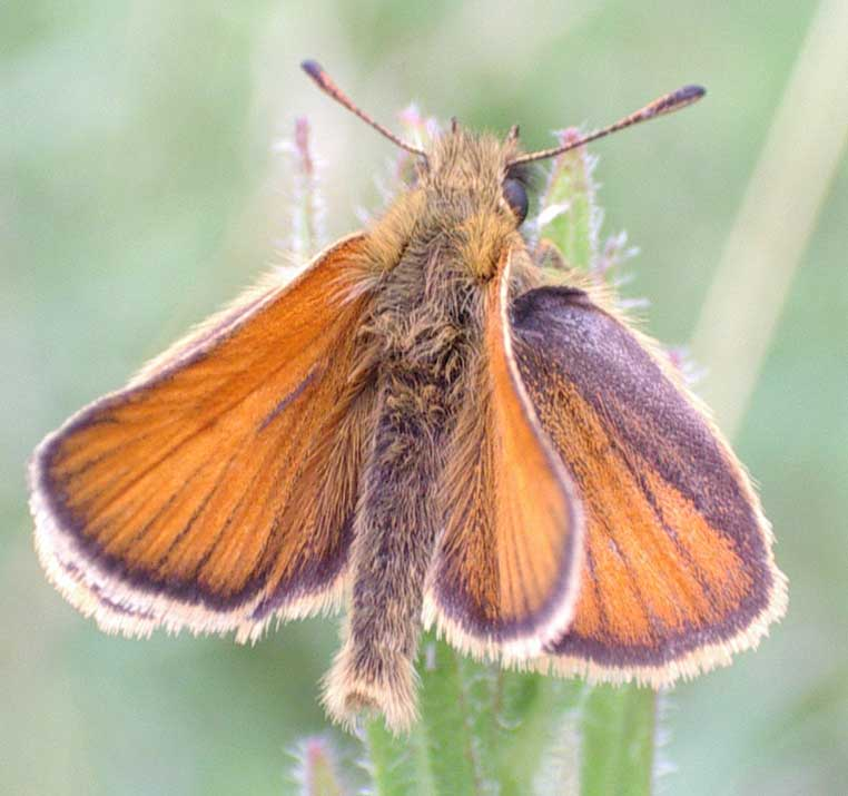 Small (or Essex) Skipper photographed near the Steyning Road (footpath at the western entrance to the Maple Spinney)