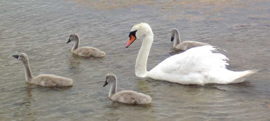 Mute Swans with cygnets at the beginning of July 2005