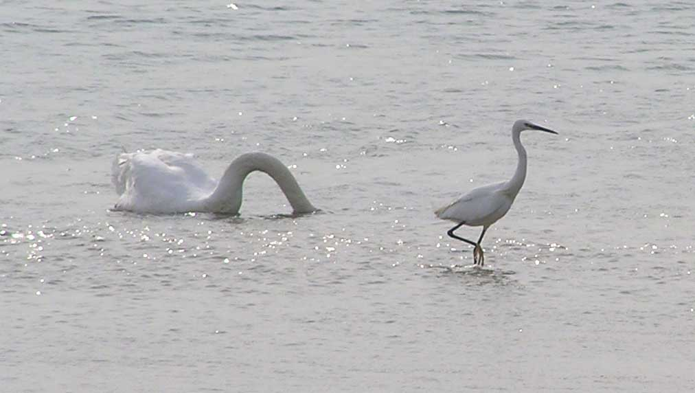 Mute Swan and Little Egret (Photograph by Brenda Collins)
