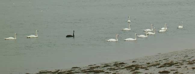 Swans on a dull overcast and thundery day, on the Adur opposite the Airport