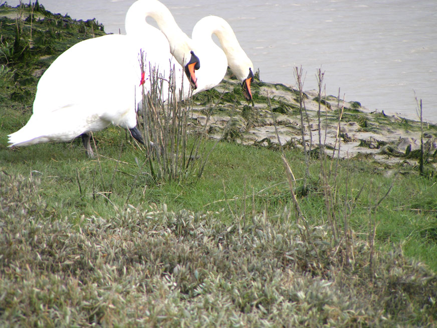 The Mute Swans were feeding on the grass below the high tide mark
