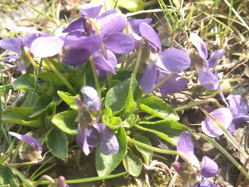 Sweet Violets on the Pixie Path