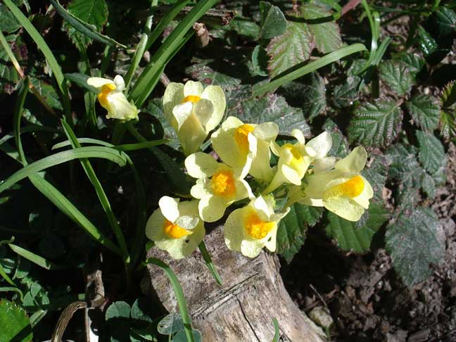 Common Toadflax in the cleared patches next to the path