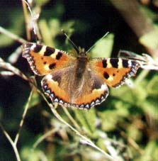 Small Tortoiseshell (Photograph by Andy Horton)