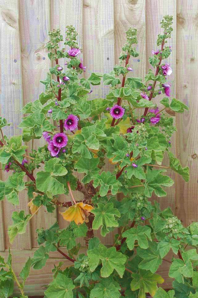 Tree Mallow (Photograph by Andy Horton)