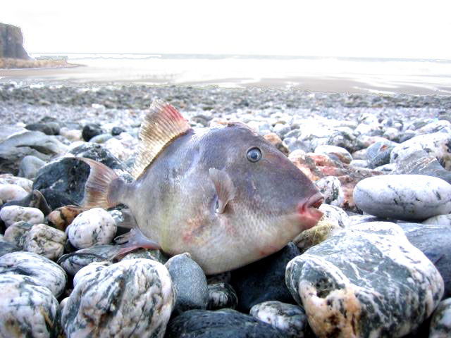 Triggerfish (Photograph by Clive Heaton)