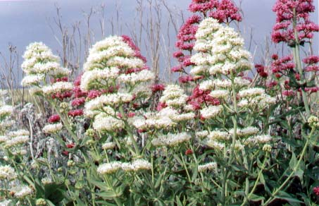 Red Valerian (Photograph by David Wood)