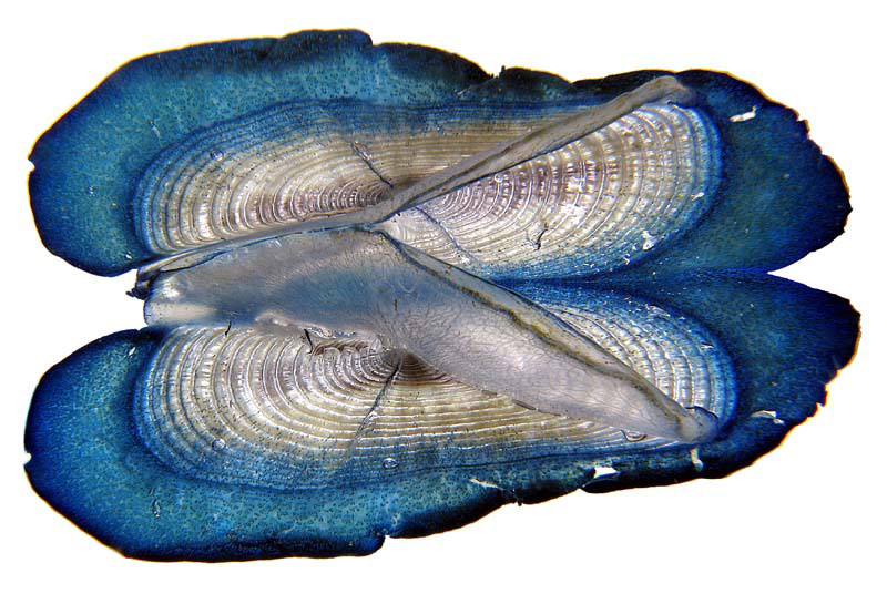 Velella (Copyright Richard Lord, Sealord Photography)