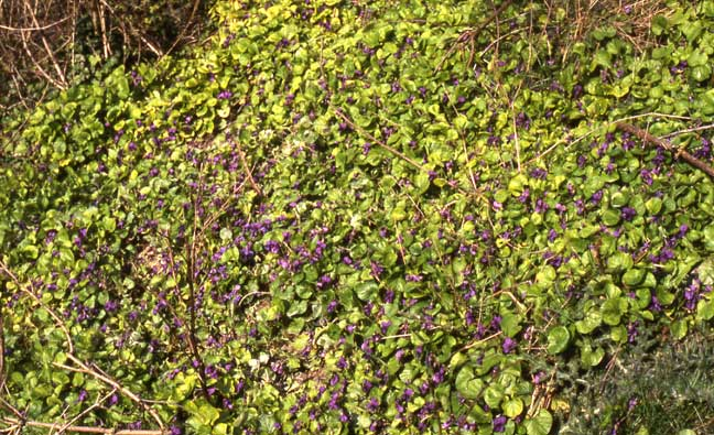 Violets on the bank