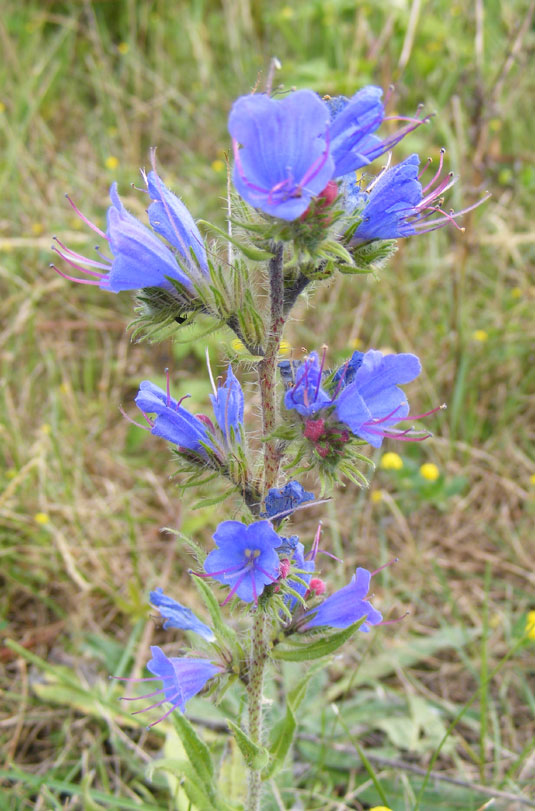 Viper's Bugloss on the Coastal Link Cyclepath