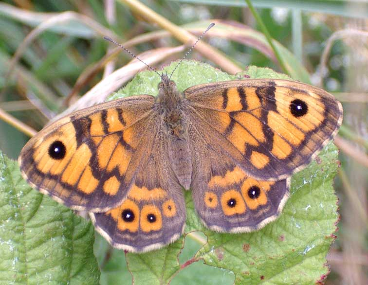 Wall Brown, NW of the upper car park, Mill Hill, 2005