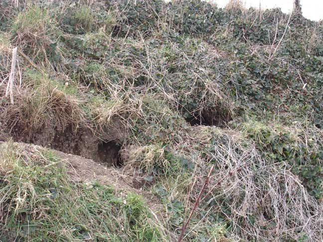 Roadside Rabbit burrows (Coombes Road, near Applesham)