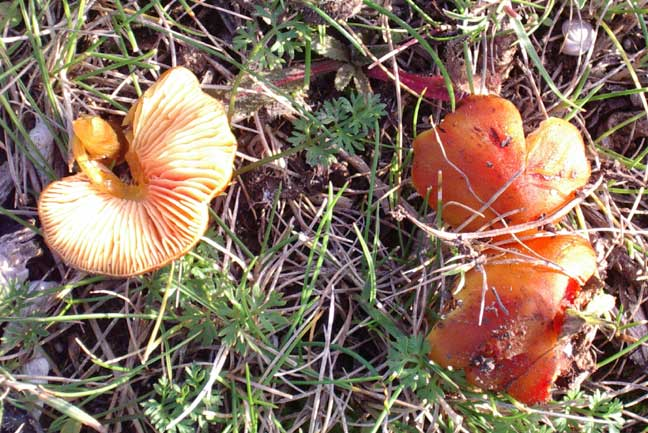 Wax Caps  taken on 26 Cctober 2004, with cap diameters at 32 mm +.