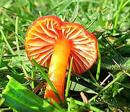 Waxcap ? species (Photograph by Ray Hamblett)