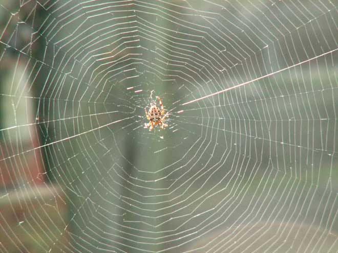 Web of the Garden Orb Spider, Araneus diadematus