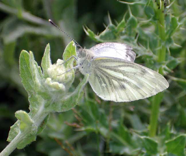 Green-veined White (Photographs by Andy Horton)