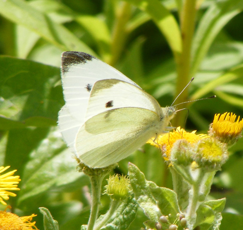 Small White on Fleabane