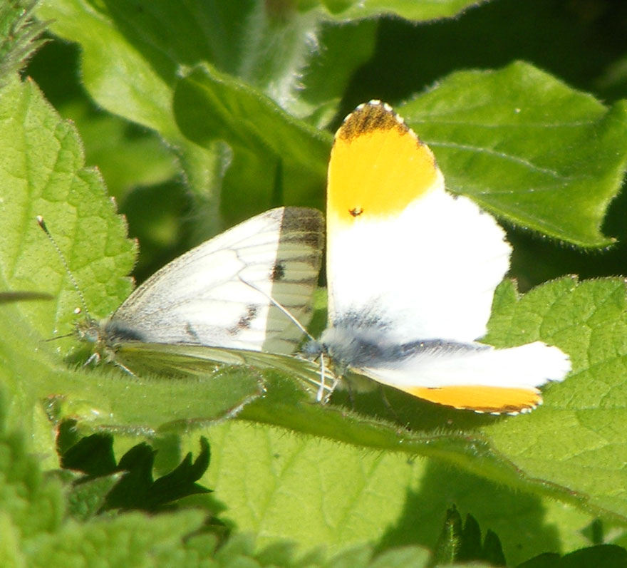 Green-veined White and Orange-tip