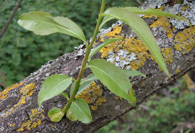 Lichens on a Willow (or Withy) Tree in the Withy Patch