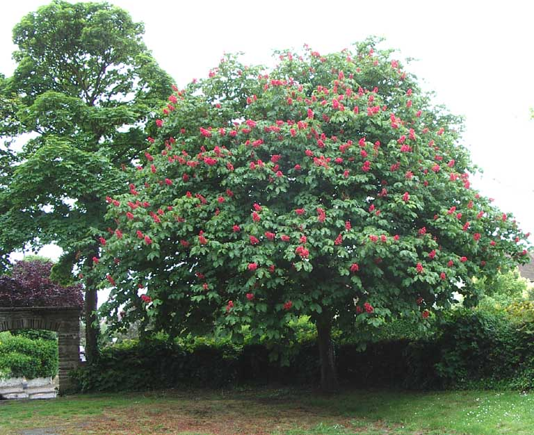 Red blossom Conker Tree with a Sycamore on the left in Windlesham Gardens, Shoreham.
