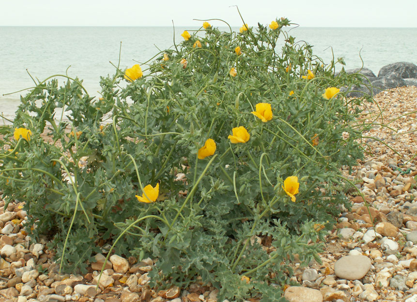Yellow-horned Poppy