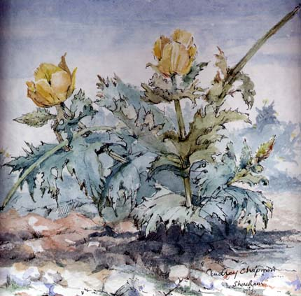 Yellow-headed Poppy. Water Colour by Audrey Chapman (Shoreham)