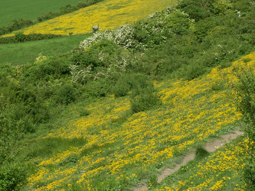 Bulbous Buttercups in the rear and Horseshoe Vetch in the foreground