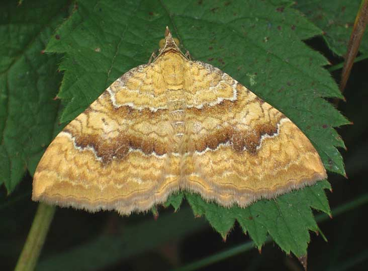 Yellow Shell Moth