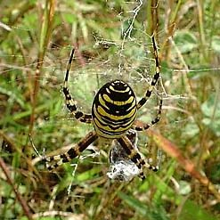 Wasp Spider (Photograph by Ray Hamblett)