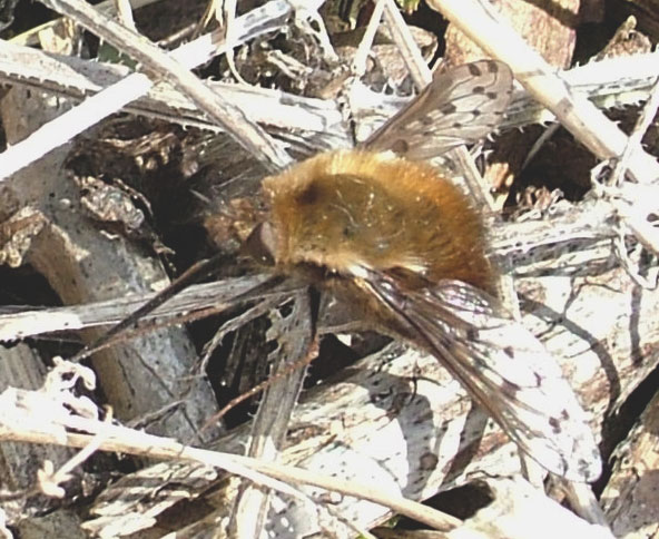 Dotted Bee-fly (Photograph by Ray Hamblett)