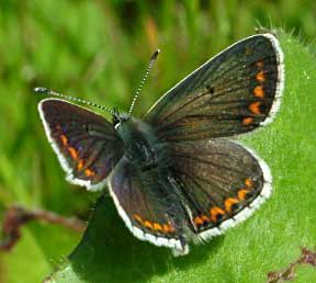 Brown Argus Butterfly (Photograph by Ray Hamblett)