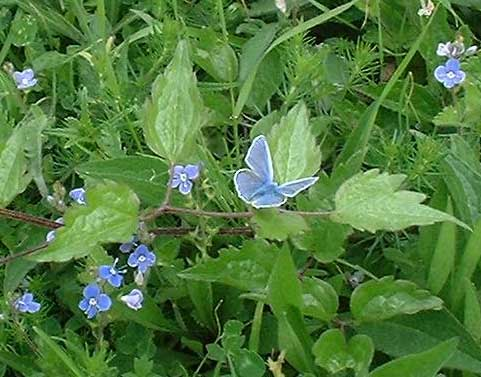 Common Blue with Germander Speedwell (Photograph by Ray Hamblett)