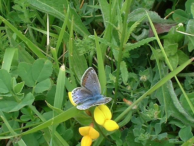 Female Common Blue on Bird's Foot Trefoil (Photograph by Ray Hamblett)
