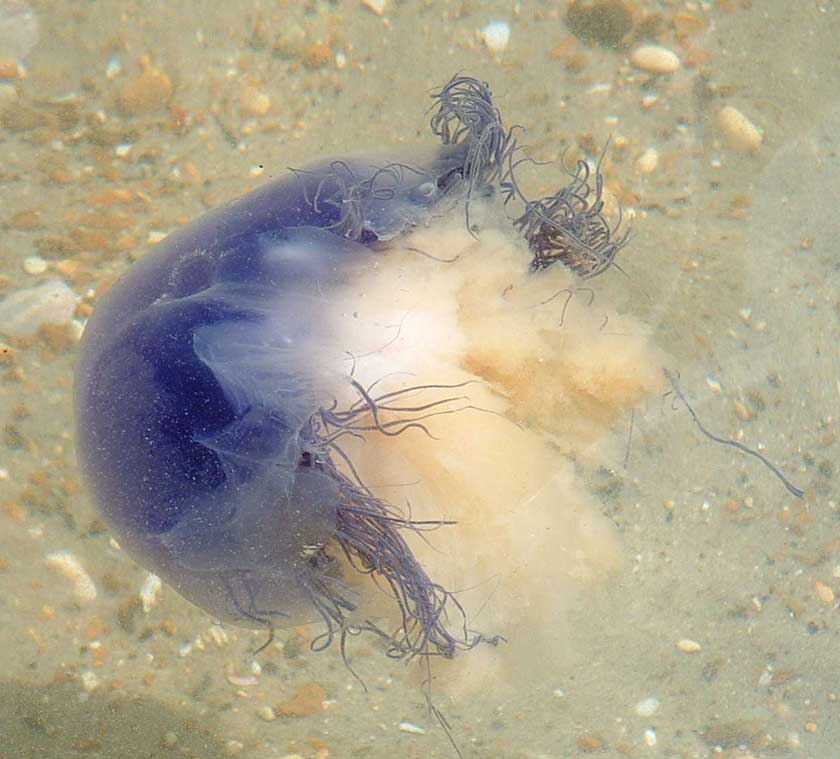 Bluefire Jellyfish (Photograph by Carole O'Connor)